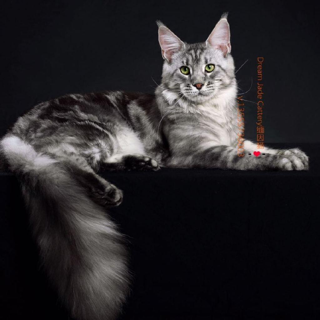 花纹猫咪活体