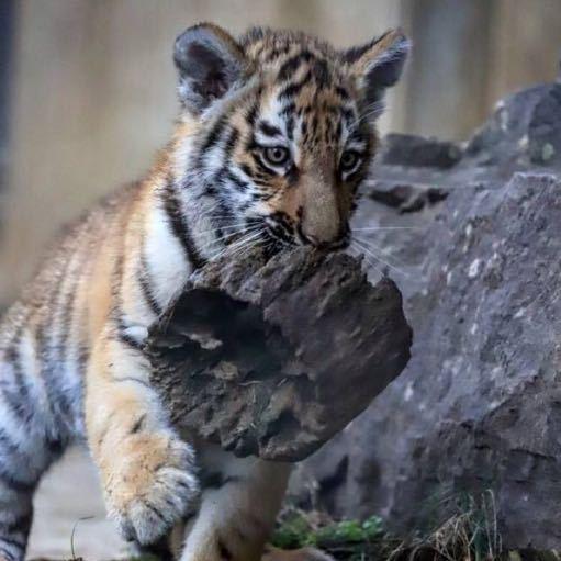嗯 第一次在高铁上剪指甲[可爱]-来自驯兽师的小老虎