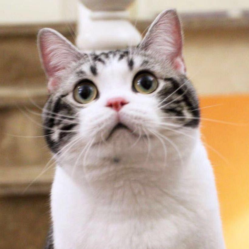 胖猫猫图片大全可爱
