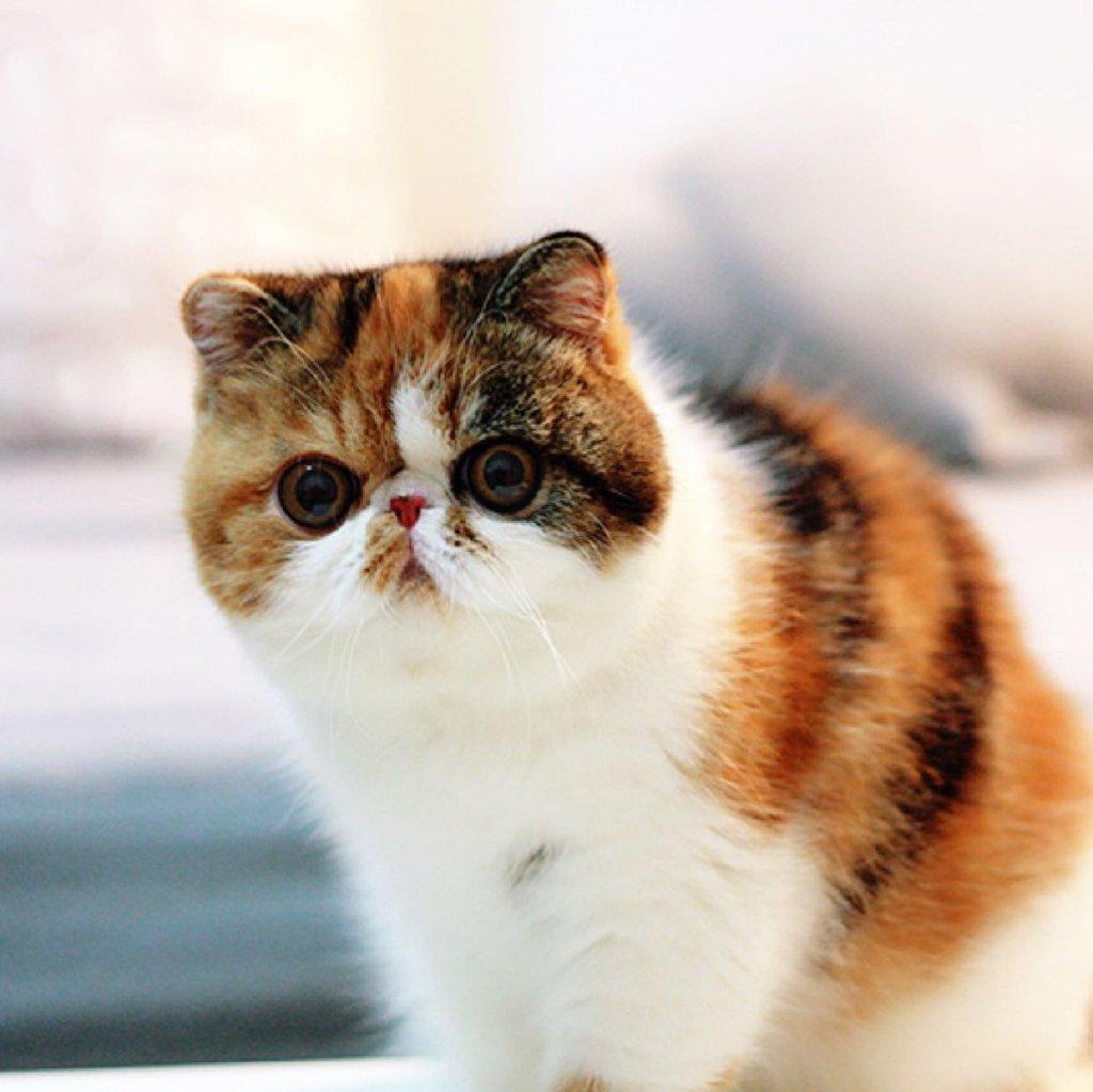 食欲不错哟#异国短毛猫##萌宠萌宠##加菲喵##纯种加菲猫##宠物秀##cfa
