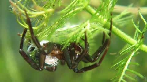神奇蜘蛛竟然捕鱼为食,可以潜入水中一天不出来,靠什么呼吸?