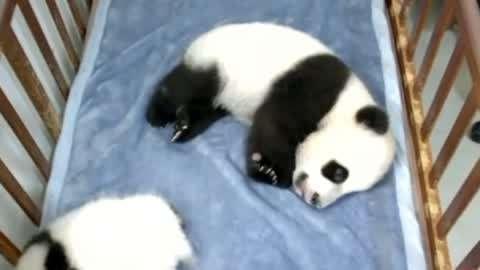 中国选手障碍跑破世界纪录 三只大熊猫招募认养