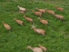 """鄱阳湖野放麋鹿保护如何不""""迷路"""""""