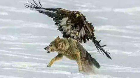 最接近神的怪兽 北国空中的无敌猎手
