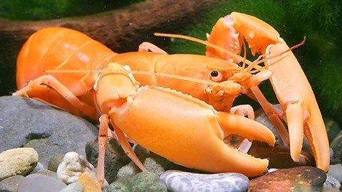 一只可以自我克隆的龙虾 已经在全世界复制出一支大军