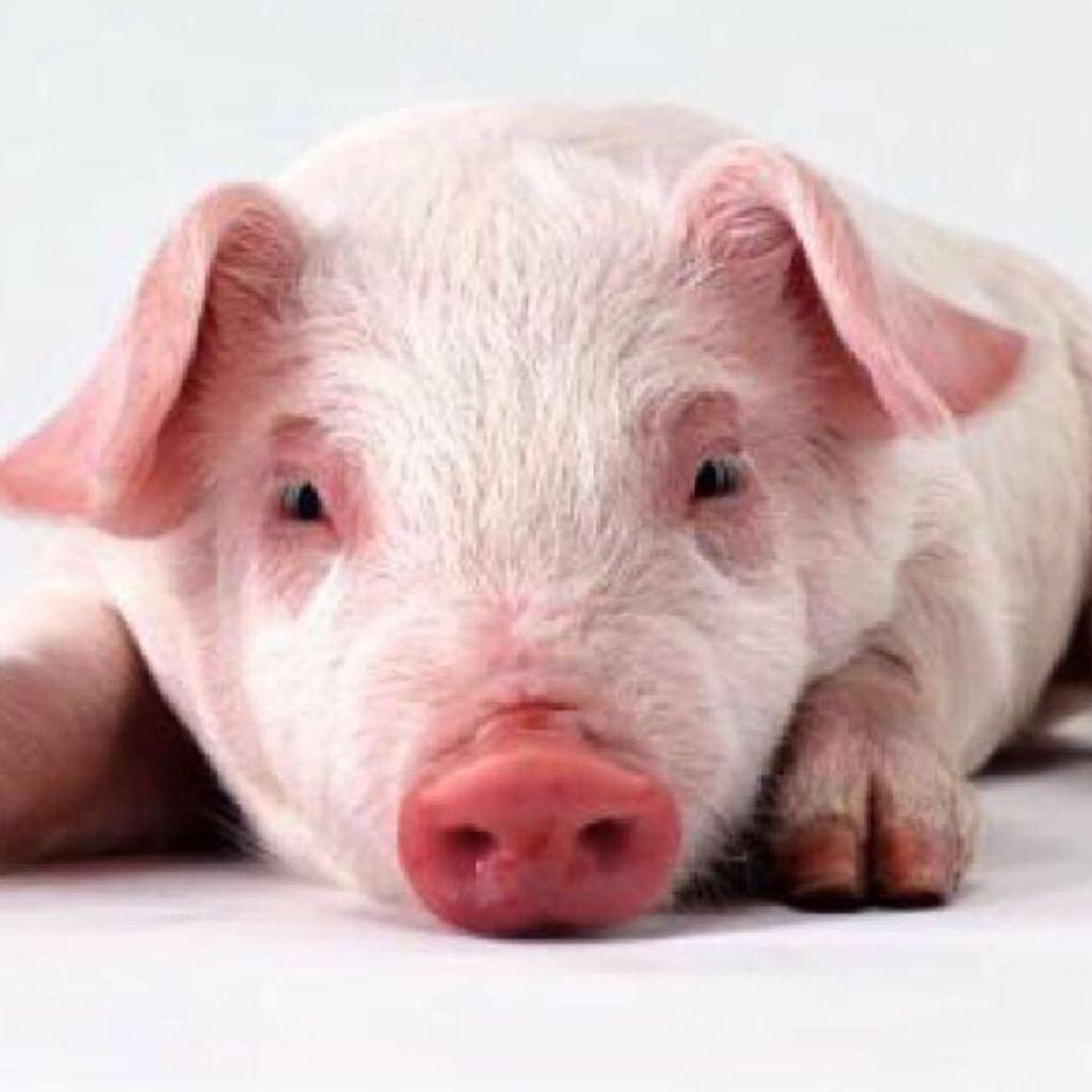 圈里的猪妖