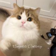 EngoliliCattery苏格兰高地猫舍