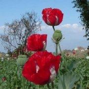 提刀探花在缅北