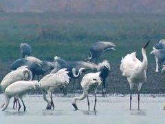 湿地滋润赣鄱 候鸟联通世界