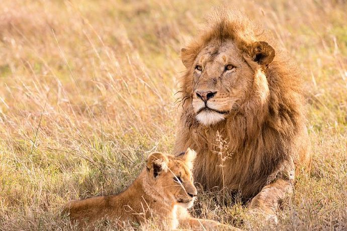 lion-5799523__480